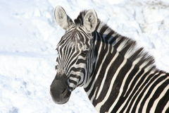 Zebra in snow Royalty Free Stock Photos