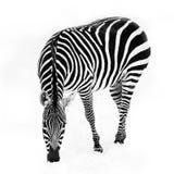 Zebra in Snow. A Grant's zebra grazing in the snow Royalty Free Stock Image