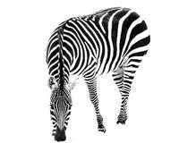 Zebra in Snow Royalty Free Stock Images