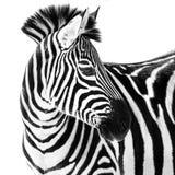 Zebra in Snow II Stock Photography