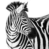 Zebra in Snow II. Profile Portrait of a Grant`s Zebra Against a White Background Stock Photography