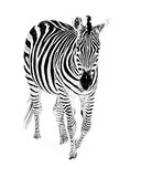 Zebra in Snow III Stock Photo