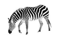 Zebra in Snow V. A Grant`s zebra grazing in the snow Royalty Free Stock Images