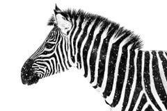 Zebra in Snow VII Stock Photos