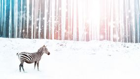 Zebra in a snowy forest. Fantastic fabulous image. Winter dreamland. Ð¡onceptual striped image in pink and blue color.  royalty free stock photo