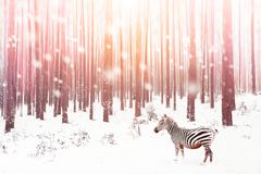 Zebra in a snowy forest. Fantastic fabulous image. Winter dreamland. Ð¡onceptual striped image in pink color.  stock images