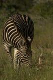 Zebra sola Fotografie Stock