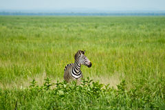 Zebra sola Immagini Stock