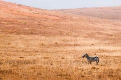 Zebra sola Immagini Stock Libere da Diritti