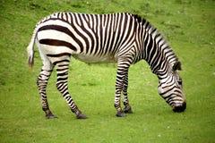 Zebra sola affamata fotografia stock libera da diritti