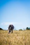 Zebra sola che sta nel campo che pasce Fotografia Stock