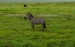 Zebra sola sulla savana fotografie stock libere da diritti