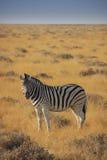Zebra solitário Fotografia de Stock