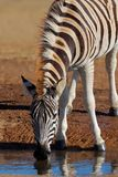 Zebra, SOuth Africa. A Plains (Burchell's) Zebra (Equus quagga) drinking water, South Africa royalty free stock images