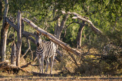 Zebra South Africa Stock Photos