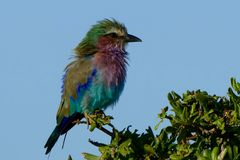 Lilac breasted roller young South Africa perch colourful profile Stock Image