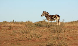 Zebra in South Africa Stock Image