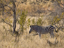 Zebra in South Africa savannah Stock Photography