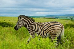 Zebra, South Africa. Zebra in Tala Game reserve, South Africa Royalty Free Stock Photos