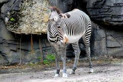 Zebra, South Florida Stock Images