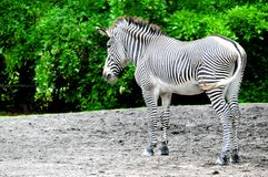 Zebra in South Florida Royalty Free Stock Image