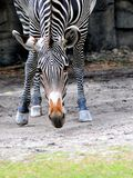 Zebra in South Florida zoo Royalty Free Stock Images