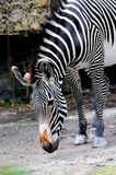 Zebra South Florida zoo Royalty Free Stock Images