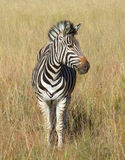 Zebra in Southafrica Royalty Free Stock Images
