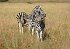 Zebra in Southafrica Stock Photography