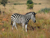 Zebra in Southafrica Royalty Free Stock Photos