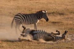 Zebra-Spaß Lizenzfreies Stockbild