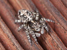 Zebra spider Stock Images