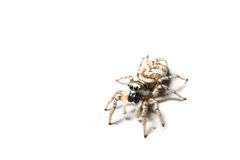 Zebra spider, isolated. A zebra spider (Salticus scenicus) isolated against a white background Royalty Free Stock Photos