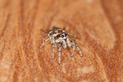 Zebra Spider. Zebra Jumping Spider (Salticus Scenicus Stock Photography