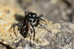 Zebra spider (Salticus scenicus) Royalty Free Stock Photography