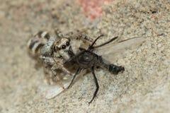 Zebra spider (Salticus scenicus) with prey Stock Photo