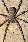 Zebra spider Viridasius fasciatus Royalty Free Stock Photography