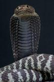 Zebra spitting cobra / Naja nigricincta Royalty Free Stock Images