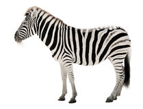 Zebra splendida su priorità bassa bianca Fotografia Stock