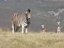 Zebra and springboks in Africa. Zebra with springboks in dry bush in South Africa Royalty Free Stock Image