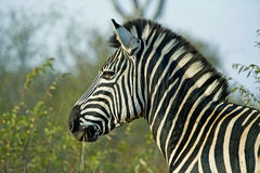 Zebra Stallion Stock Photo