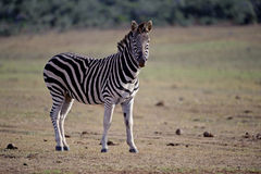Zebra Stallion Royalty Free Stock Photography
