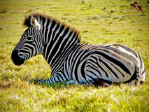Zebra Stallion Royalty Free Stock Photos