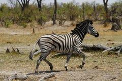 Zebra Stallion. The Burchells Zebra stallion busy rounding up his mares Royalty Free Stock Photos