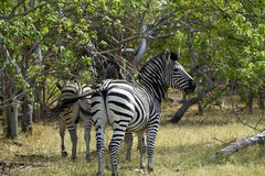 Zebra Stallion Stock Photos