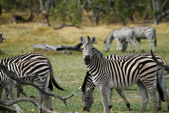 Zebra Stallion Stock Photography