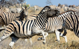 Zebra Stallion causing havoc Stock Photography