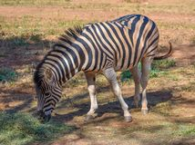 A zebra stallion standing in the shade. A black and white stripped zebra stallion standing in the shade eating dry grass and swinging its tail Royalty Free Stock Image