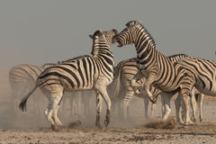 Zebra stallions in dispute. Stocky and horselike. Black and white stripes with shadow stripes superimposed on white stripes. Stripes extend on to under parts Stock Photos