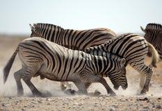 Zebra stallions fighting Royalty Free Stock Photos